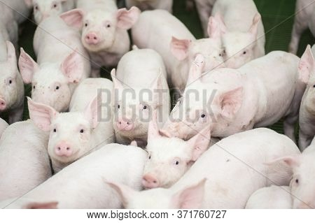 Pig Factory Farming Is A Subset Of Pig Farming And Of Industrial Animal Agriculture