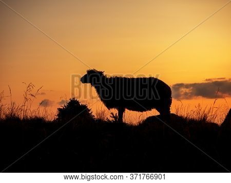 Silhouette Of A Sheep In A Meadow At Sunset