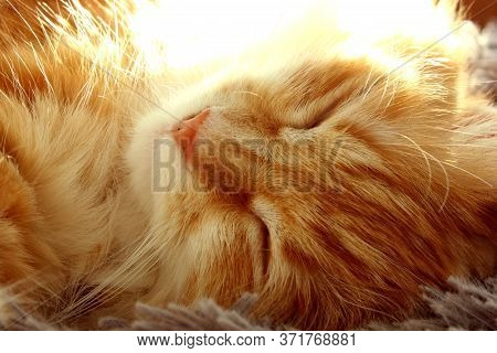 Beautiful Red-haired Kitty Sleeps. Close-up Portrait Of A Red-haired Striped Cat. The Cat Sleeps In