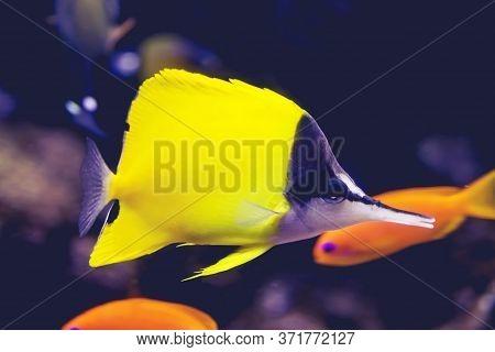 Long-beaked Butterflyfish, Longnose Butterflyfish Forcipiger Flavissimus Swimming. Bony Fish Teleost