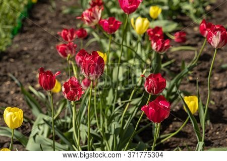 Group Of Yellow And Red Tulips With Stamens And Pestle Is On A Blurred Green Background