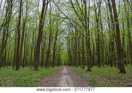 Forest Path Among Tall, Green Trees In Spring.