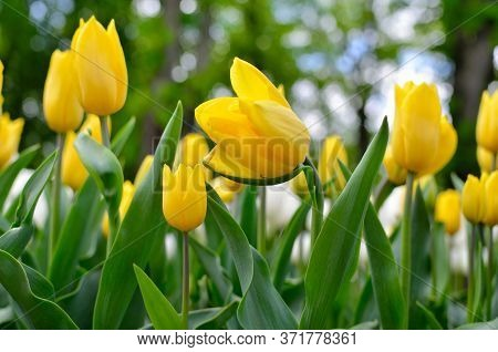 Young Tulips Bloomed In The Park In Spring