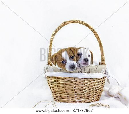 cute Four Puppies Bitches Jack Russell Terrier Play Near Easter Basket With A Ball Of Thread On A W