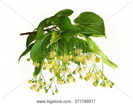 Fresh Flowers And Leaves Of Linden Or Lime-tree Isolated On White Background