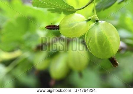 Fresh Organic Green Gooseberries On A Branch Of Gooseberry Bush In The Garden.selective Focus.