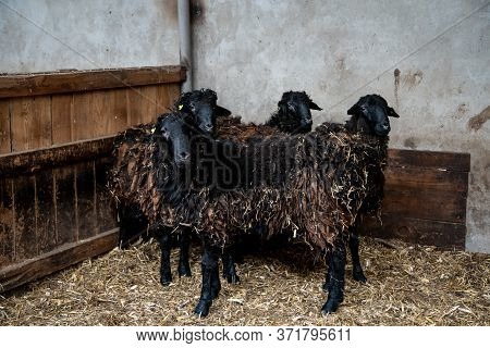 Goats And Sheep In The Stalls. Corrals For Livestock In The Barnyard, Cages For Livestock On The Far