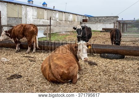 Cows In Open Stalls. Corrals For Livestock In The Barnyard, Cages For Livestock On The Farm