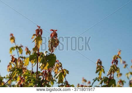 Close-up Of Twigs Of A Maple Hedge With Reddish Leaves In Morning Light