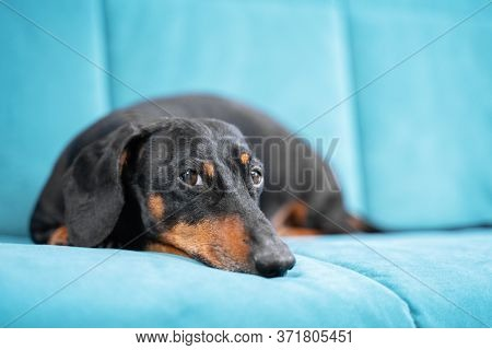 Adorable Black And Tan Dachshund Dog Is Asleep And Dreams On Blue Comfortable Soft Sofa At Home