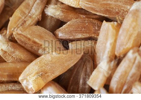 Uncooked Raw Brown Spelt Wheat. Food Background. Healthy Lifestyle Concept. Closeup Macro Shot. Ingr