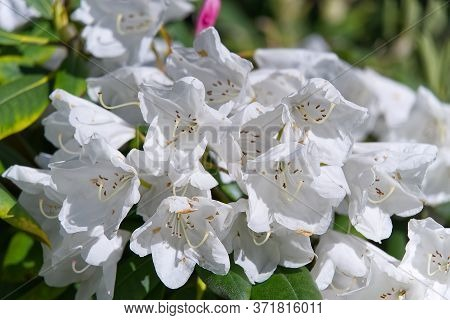 White Rhododendrons Close-up. Delicate White Azalea Rhododendron Flowers. Landscape Design.