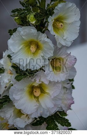 Blossom Common Hollyhock, Alcea Rosea, Close-up With Selective Focus, Shallow Dof