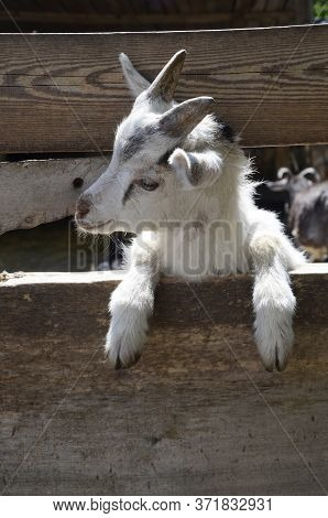 A Young, Curious Kid In The Fence. A Young Goat. Domestic, Rural Animal. Funny Animal. Close Up. Nea