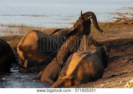 The African Bush Elephant (loxodonta Africana), Elephanthe African Bush Elephant (loxodonta Africana
