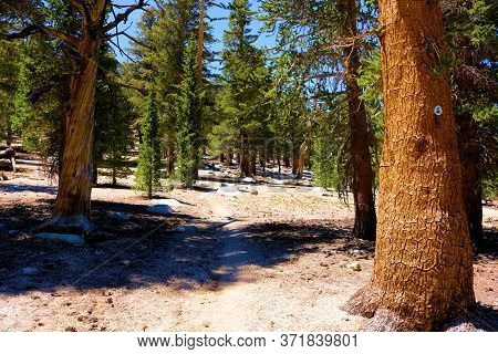 June 11, 2020 In The Sierra Nevada Mountains, Ca:  Lodgepole Pine Trees With A Pct Navigational Sign