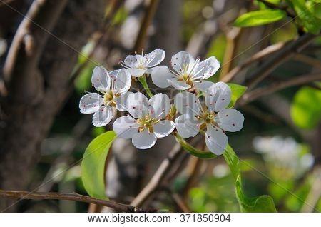 Conference Pear Tree Blossom, Calypso, Costa Del Sol, Malaga Province, Andalucia, Spain, Europe.