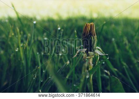 Close-up Photo Of Closed Dandelion Bud On Green Grass Blurry Background. Morning Dew Freshness. Waki