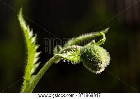 Green Poppy On A Dark Background. Bud Of A Young Poppy. A Closeup Of A Green Poppy Bud. Young Poppy