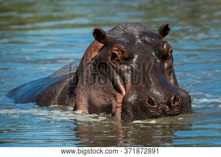 Hippo Stands In Hippo Pool Eyeing Camera