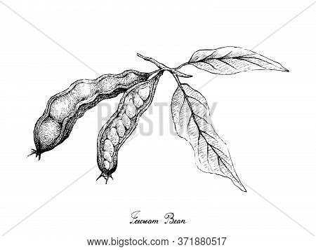 Tropical Fruits, Illustration Of Hand Drawn Sketch Ice Cream Beans, Pacay Or Inga Edulis Fruits Isol