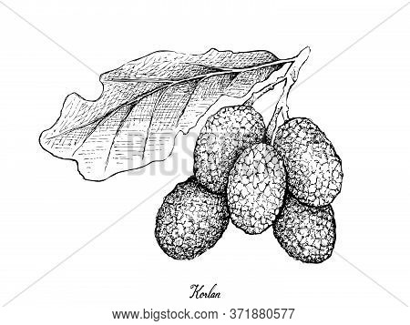 Fresh Fruits, Illustration Of Hand Drawn Sketch Fresh Korlan Or Nephelium Hypoleucum Fruits Isolated