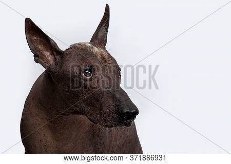 Close Up Portrait Of Xoloitzcuintle, Or Mexican Hairless Breed, Ancient And Unsusual Dog, With Dark