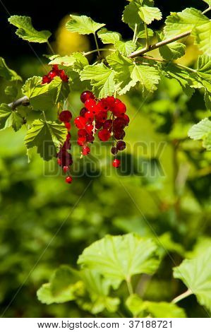 Forest red fruits