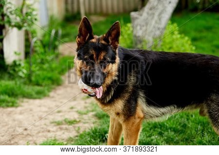 German Shepherd Stabding On The Grass In The Park.