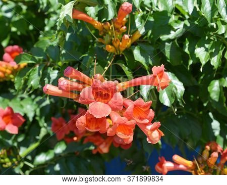 A Close-up On A Fast-growing Campsis, Trumpet Creeper, Trumpet Vine Blooming Richly With Orange, Red
