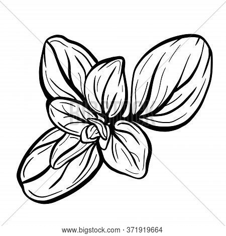Marjoram Or Basil Leaves Isolated On A White Background. Marjoram Is An Aromatic Seasoning. Vector I