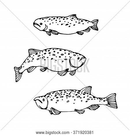 Set Of Atlantic Spotted Trout Or Salmon, Commercial Fish, Sea Predator, Delicious Food, Vector Illus
