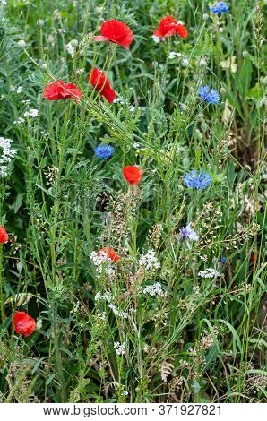 A Colorful Uncultivated Meadow In June With Red Poppies, Blue Cornflowers And White Chervil