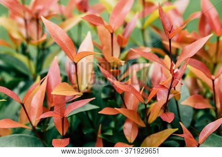 Defocused And Blurred Image For Background. Christina, The Bush Trees With Red And Green Leaves As C