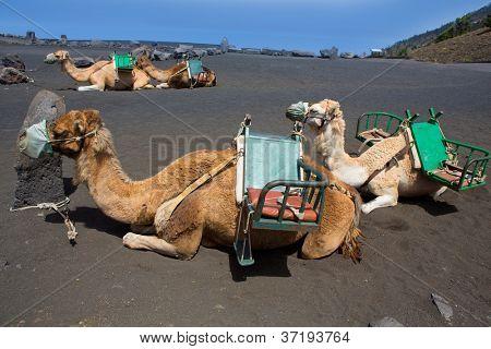 Camels in San antonio Volcano of La Palma at Canary Islands poster