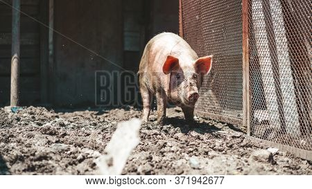 Portrait Of Messy Pig On The Farm, Close-up. Happy Pig On Pig Farm.