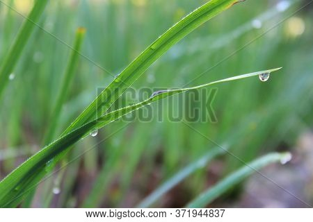 Green Grass Leaves With Droplets Hanging Against A Greenish Background. Photographed At Dawn With De