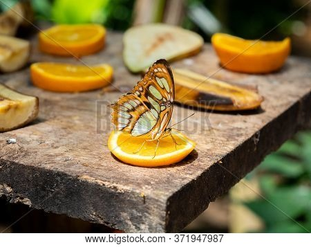 Malachite Butterfly (siproeta Stelenes) Eating On An Orange Slice With Blurred Bacground