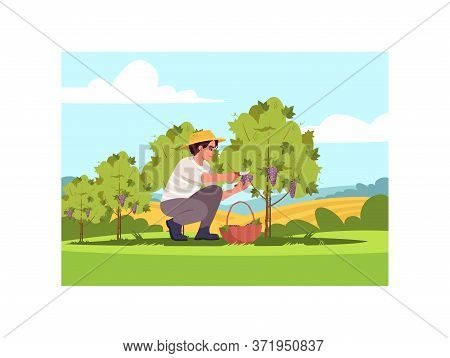 Grapewine Crop Semi Flat Vector Illustration. Harvest For Local Winery Production. Countryside Plant