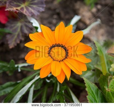 Yellow Bright Gerbera Flower (lat. Gerbera) On A Background Of Green Leaves. Agriculture Landscaping