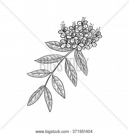 Vector Drawing Ashoka Tree, Saraca Indica, Hand Drawn Illustration Of Medicinal Plant