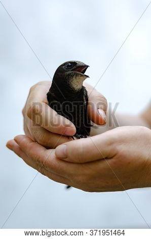 Portrait Of A Swift With Open Mouth In Female Hands. Salvation Of A Young Swift. Release To Freedom.