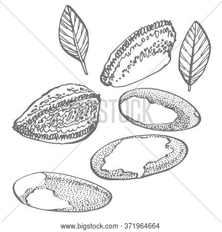 Brazilian Nut Set Of Hand Drawn Sketches On An White Background. Organic Vegetarian Product. Perfect