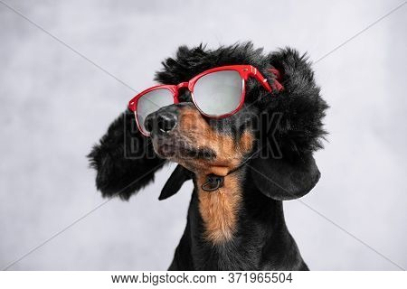 Portrait Of Cheeky Dachshund Dog In Warm Winter Hat With Earflaps And Red Sunglasses On Gray Backgro