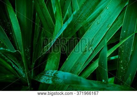 Abstract Background Of Tropical Green Leaves With Water Drops