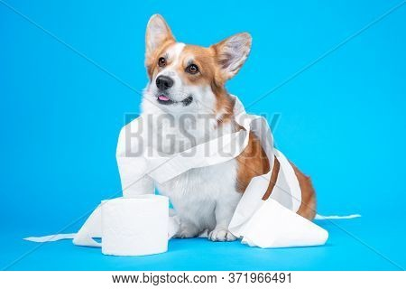 Funny Welsh Corgi Pembroke Dog Puppy,  Is Playing With A Roll Of White Toilet Paper, Isolated On Blu