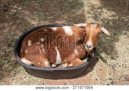 Funny Goat Curled Up In A Bucket