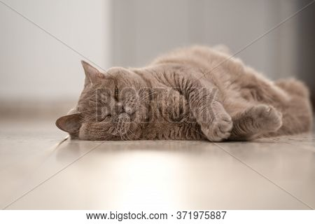 Gray Funny British Shorthair Cat Is Resting In Home. Adult Cat Sleeping Blissfully On Floor In Home.