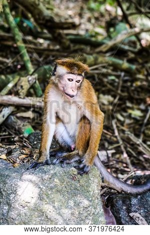 Sad Lonely Toque Macaque Sitting Alone On A Stone In The Trees Near Jungle Beach In Sri Lanka. Monke