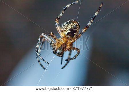 Arachnophobia Fear Of Spider Bite Concept. Macro Close Up Spider On Cobweb Spider Web On Blurred Blu